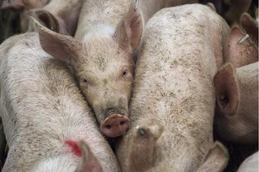 Empfindsame Tiere: Schweine