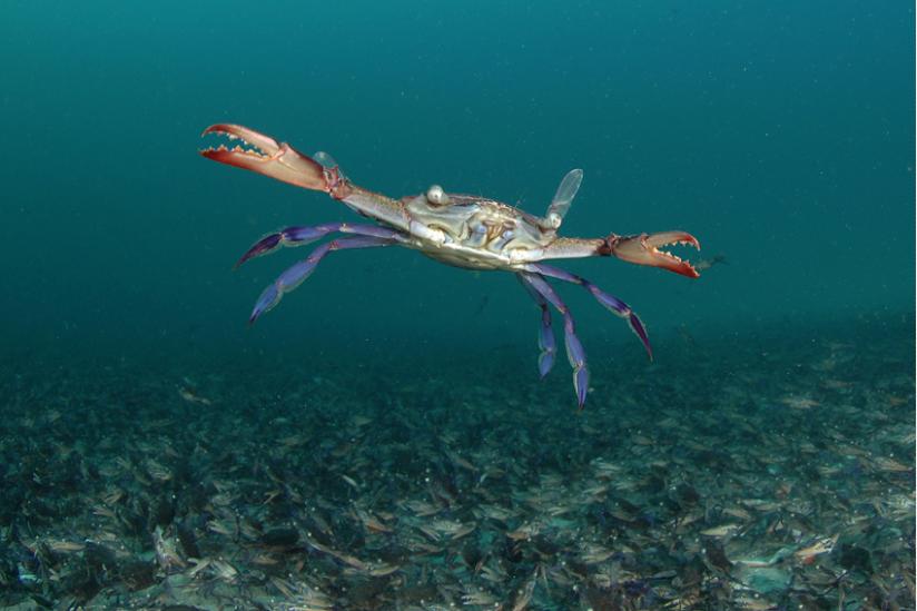 Schwimmkrabbe über 100.000 Artgenossen am Meeresboden