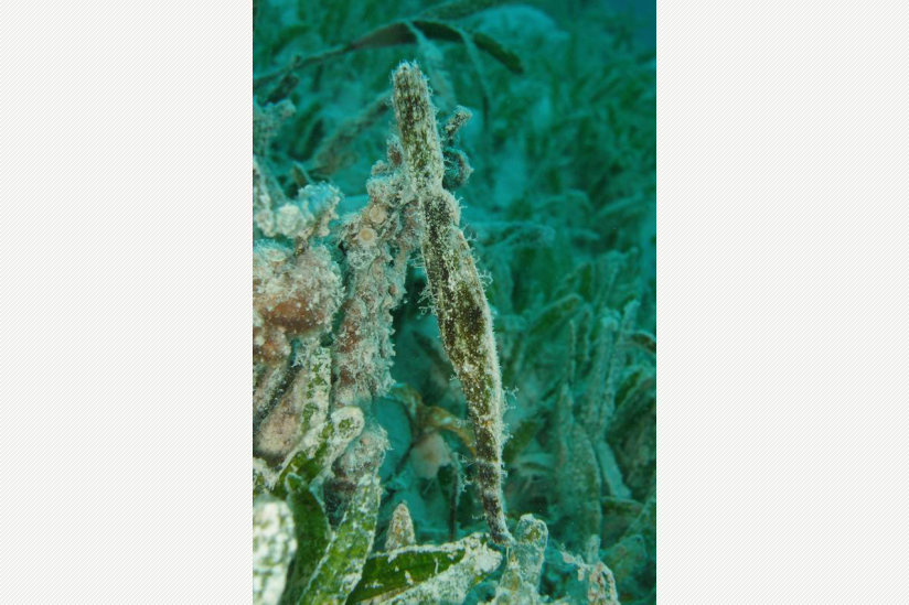 Seegras-Geisterpfeifenfisch Solenostomus cyanopterus im Roten Meer