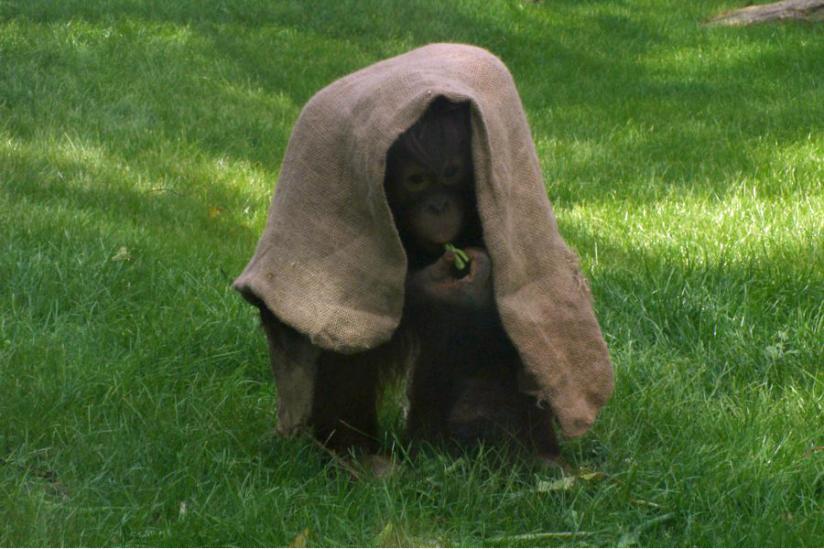 Spielt sie Verstecken oder schmückt sie sich - heranwachsende Orang-Dame Zoo Berlin
