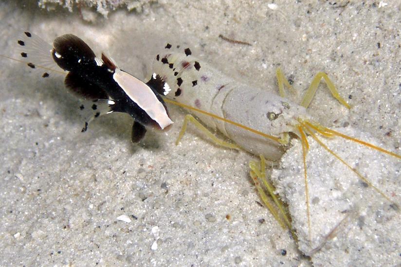 Symbiose - Grundel Lotilia graciosa lebt mit Knallkrebs Alpheus  in Höhle zusammen