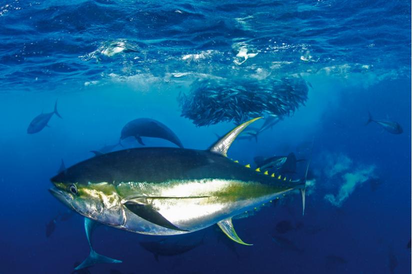 Thunfische haben einen Schwarm Sardellen eingekreist und dezimieren ihn