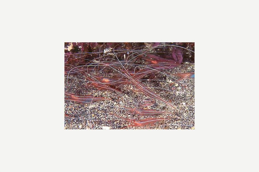 Tiefwasser-Langhorngarnelen Plesionika narval
