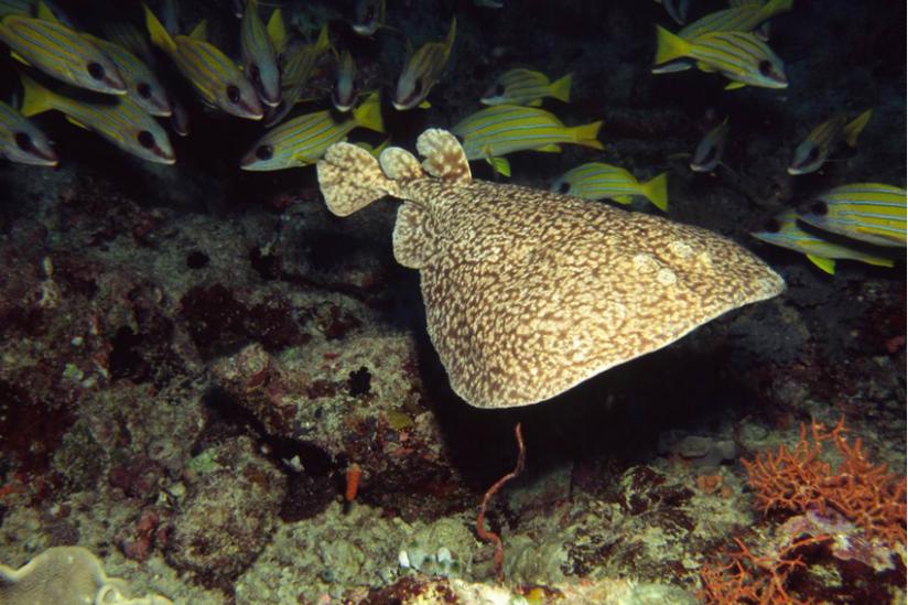Torpedorochen (t. sinuspersici), Oman