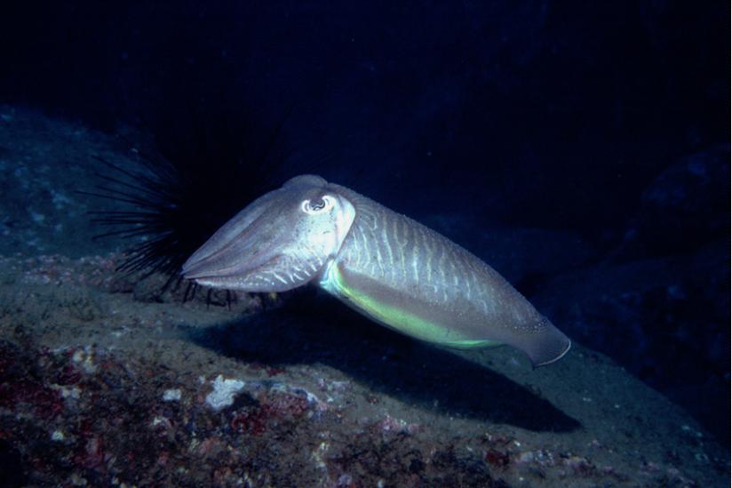 Verbreitet im Atlantik und Mittelmeer -- Sepia officinalis