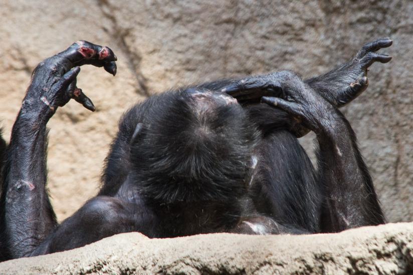 Verletzter Schimpanse im Leipziger Zoo.