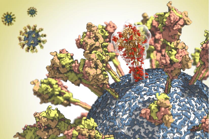 Oberfläche des SARS-Coronavirus-2. Ein Molekül des Spike-Proteins ist durchscheinend dargestellt, um seine komplexe räumliche Struktur hervorzuheben.