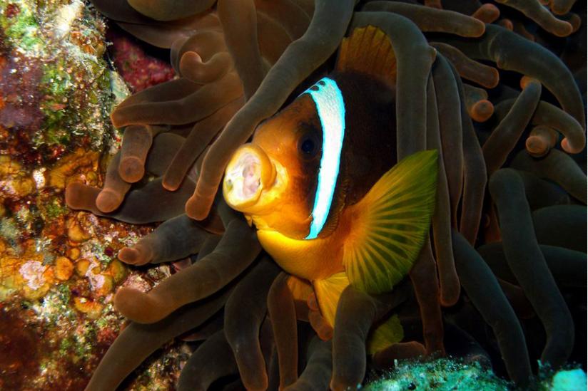 Von Nemo bekannt  -- Clownfisch in seiner schützenden Anemone