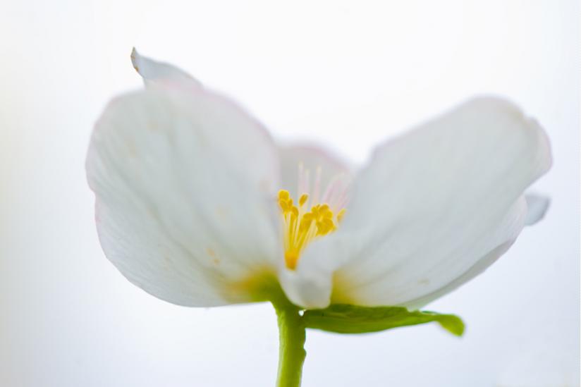 """""""Helleborus niger"""""""