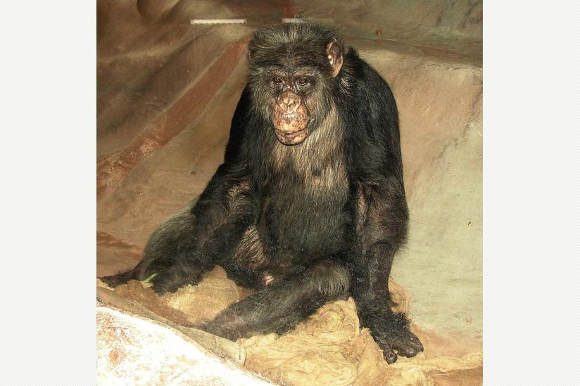 Hat noch nie Gras unter den Füßen gespürt: Schimpanse WUBBO