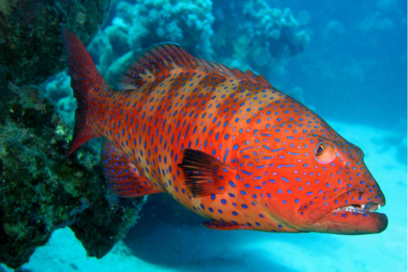 Zackenbarsche sind per se die Predatoren im Korallenriff