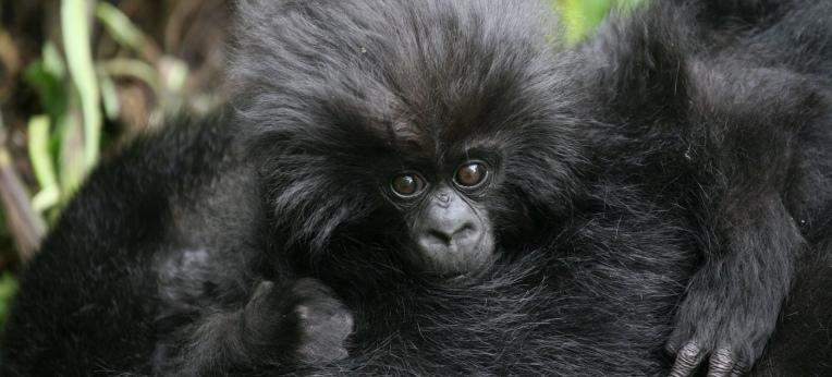 Grund zur Freude: Der jüngsten Zählung zufolge leben mehr als 600 Berggorillas im Virunga-Vulkan-Gebiet, mehr als doppelt so viele wie noch vor dreißig Jahren. Die Zahl weltweit frei lebender Berggorillas stieg auf mehr als 1000 Tiere an.
