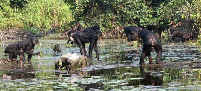 Bonobos im LuiKotale-Wald im Salonga Nationalpark, Demokratische Republik Kongo, beim Verzehr jodhaltiger Wasserpflanzen.