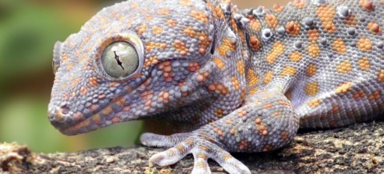 Ähnlich wie Vögel und Säugetiere verfügen Geckos über ein komplexes Kommunikationssystem