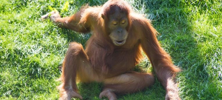 Junger Orang-Utan im Leipziger Zoo
