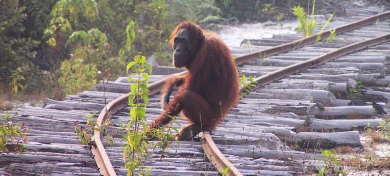 Lebensraumverlust und Wilderei sind die größten Gefahren für die Orang-Utans.