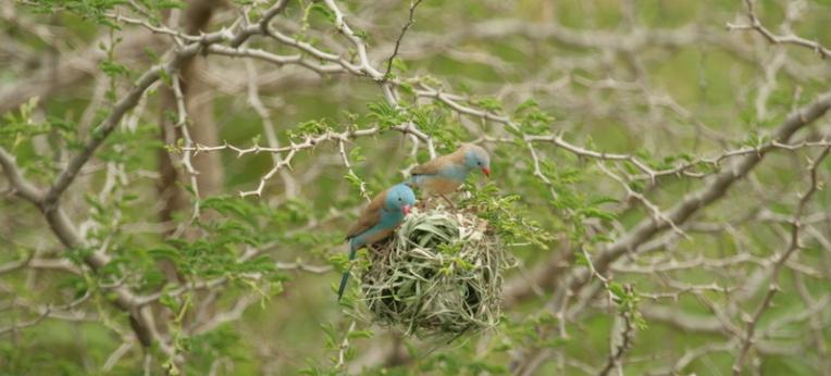 Blaukappen-Schmetterlingsfinken (Uraeginthus cyanocephalus) inspizieren das Nest eines Jackson-Webers (Ploceus jacksoni).