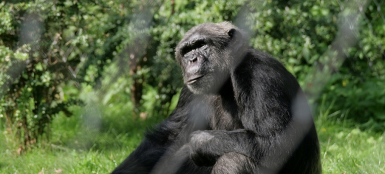 Schimpanse im Berliner Zoo