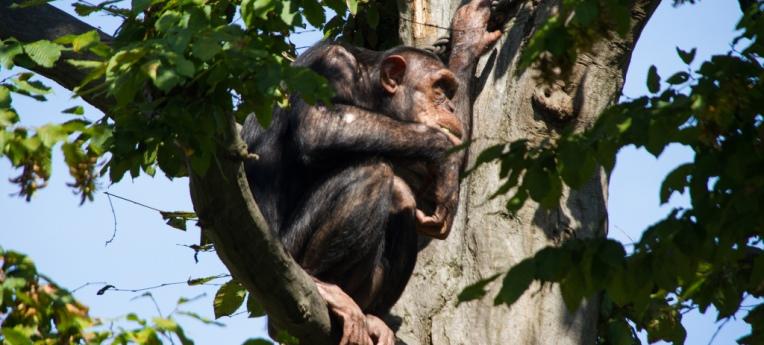 Schimpanse im Zoo Leipzig