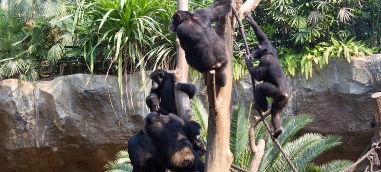 Schimpansengruppe im Leipziger Zoo