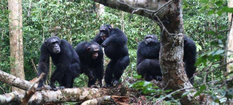 Schimpansen schließen sich ihren engen Bindungspartnern im Kampf gegen Rivalen an.