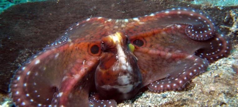 Tarn-Krake -- Riesen-Ocelli täuschen größeres Tier vor