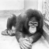 Schimpanse (Standfoto)