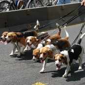 Snoopy ist ein Beagle