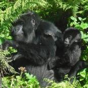 Gorillamutter beim Fressen