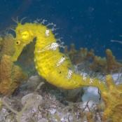 Hippocampus hippocampus,  als erste Art vom Vater der Nomenklatur, Carl von Linné, 1758 aus dem Mittelmeer beschrieben