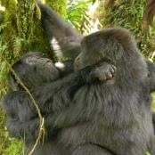 Lesbische Berggorillas