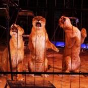 Löwendressur im Zirkus. Dompteur Martin Lacey jr.