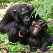 Schimpansenmutter mit ihrem Jungen. Die Tiere verbringen viel Zeit mit ausgedehnten Verhandlungen.