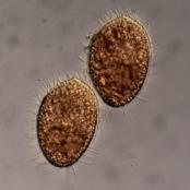 Das räuberische Wimperntierchen Tetrahymena thermophila ernährt sich von Bakterien.