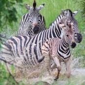 Zebras legen bis zu 500 Kilometer zurück