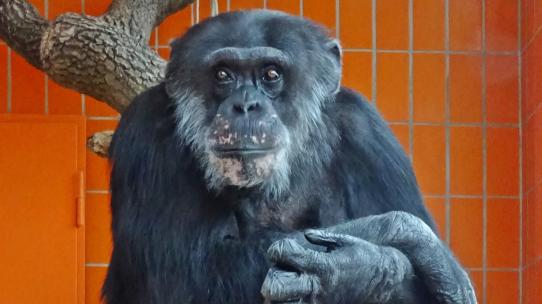 Schimpansensenior Benny
