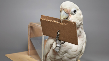 Goffin-Kakadu fertig sich Werkzeuge aus Pappe an