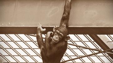 """Schimpansenkind im """"Freigehege"""" des Zoos Bremerhaven"""