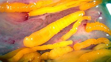 Pomphorhynchus im Rektum eines Blaufisches (Pomatomus saltatrix)