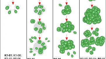 Algen entwickeln sich vom Ein- zum Mehrzeller wenn sie von Fressfeinden bedroht werden