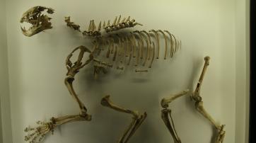 Bei Halle ausgegrabener Sabelzahntiger