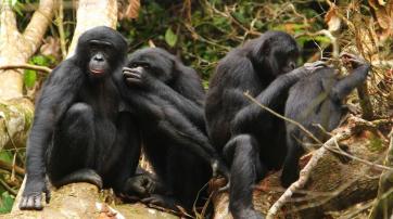 Bonobos bei der gegenseitigen Fellpflege.