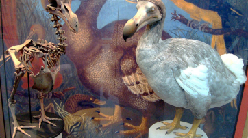 Dodo im Oxford museum of natural history