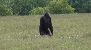 Erwachsener männlicher Schimpanse im Loango Nationalpark in Gabun.