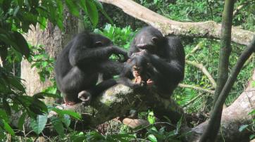 Schimpansen betreiben am liebsten mit Weibchen Fellpflege, die ein Baby haben, oder mit ihren Freunden