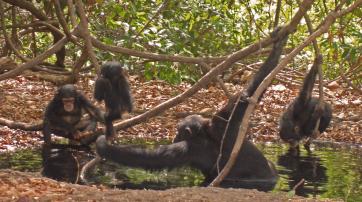 In der Savanne und Grassavanne lebende Schimpansen haben ihr Verhalten an die schwierigen Lebensbedingungen angepasst.