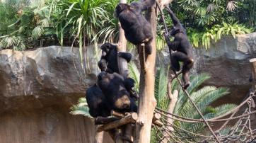 Schimpansengruppe im Zoo Leipzig