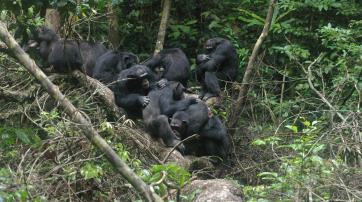 Schimpansen im Tai-Nationalpark.