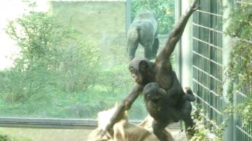 Spielende Bonobo-Kinder im Berliner Zoo.